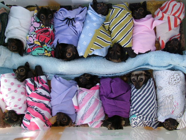 baby spectacled flying foxes
